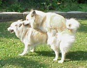 Hund - parring
