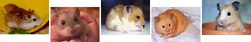 Foto - Hamster