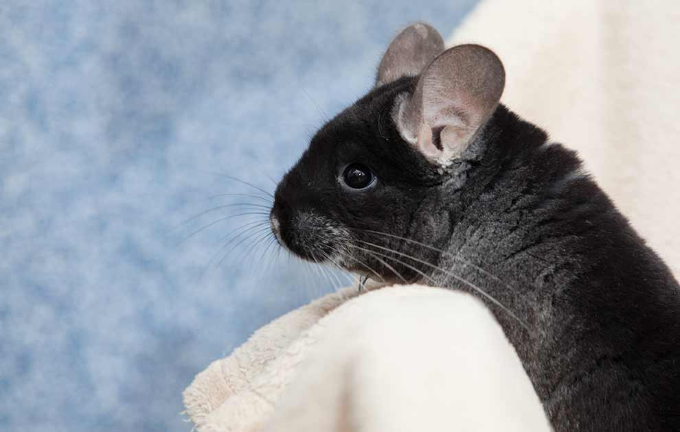 Burindretning Gnavere Chinchilla