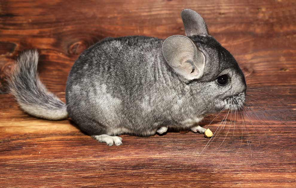 Forstoppelse Gnavere Chinchilla