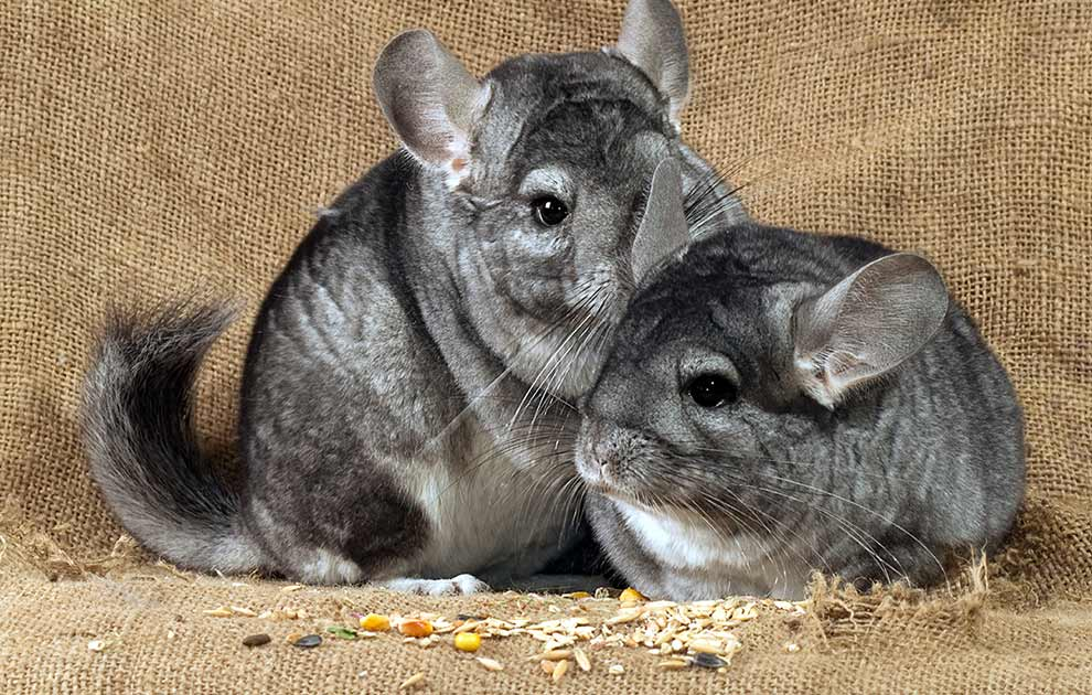 Parring Gnavere Chinchilla