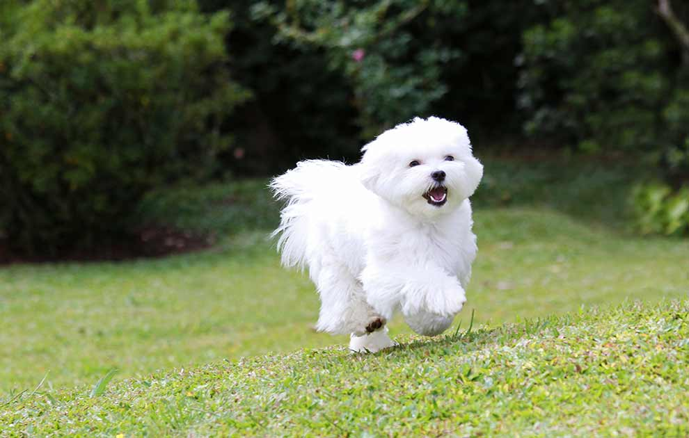 blærebetændelse hund
