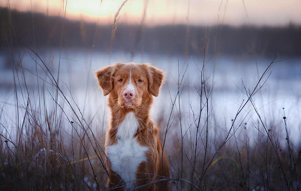 hund trækker vejret hurtigt
